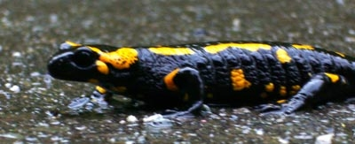 Viele Amphibien stehen im Frühjahr vor dem Problem, ständig über Straßen getragen zu werden, obwohl sie da teilweise nie hin wollten.