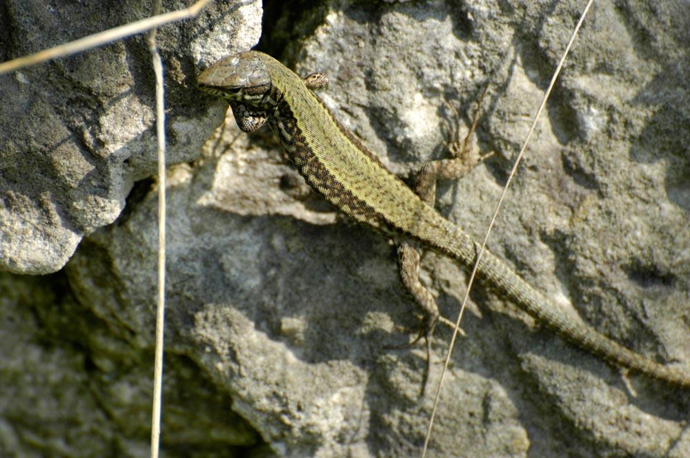 salamander neustadt weinstraße