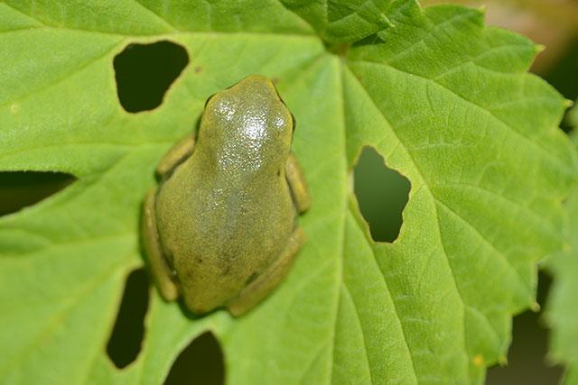 Laubfrosch (Hyla arborea), Jungtier