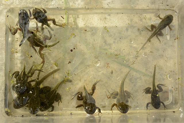 Knoblauchkröten, Metamorphose