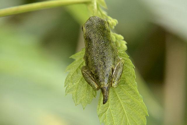 Laubfrosch (Hyla arborea), Jungtier mit Schwanzrest