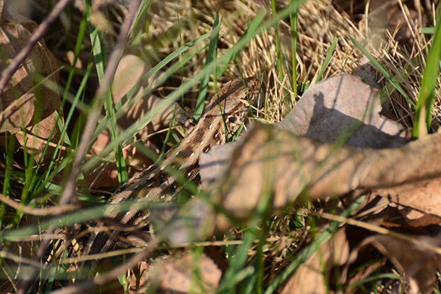 Zauneidechse im Gras