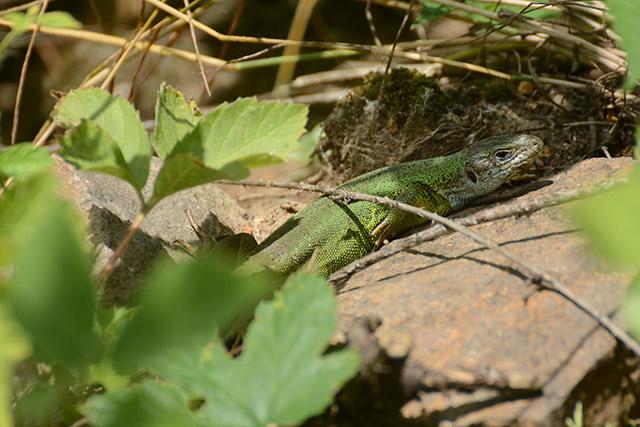 Smaragdeidechse, Weibchen beim Sonnen