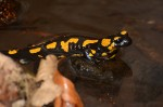 Feuersalamander (Salamandra salamandra) mit abgesetzter Larve